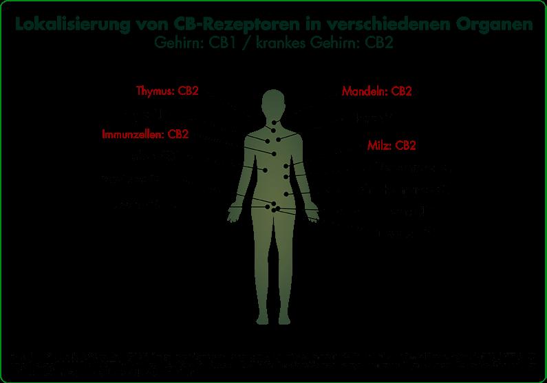 CBD - Wirkung | Infografik CB-Repzeptoren